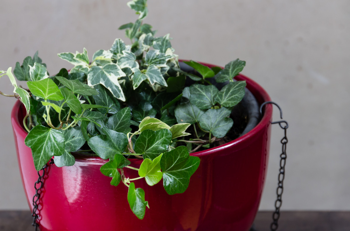 english ivy is a wonderful plant to hang of reach of pets