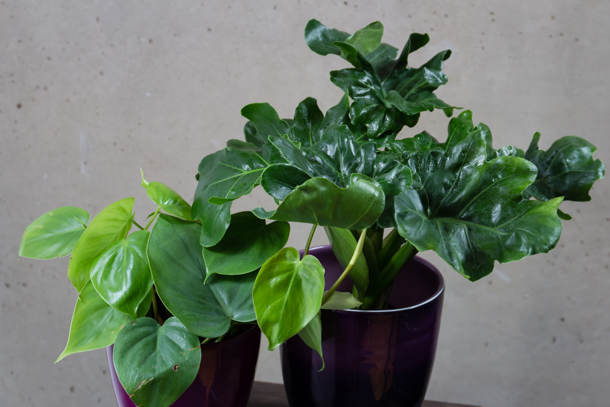 peachy house plants that are safe for cats. Philodendrons are one of the most popular houseplants  Here two philodendrons with different leaf 10 Toxic Houseplants That Are Dangerous for Children and Pets