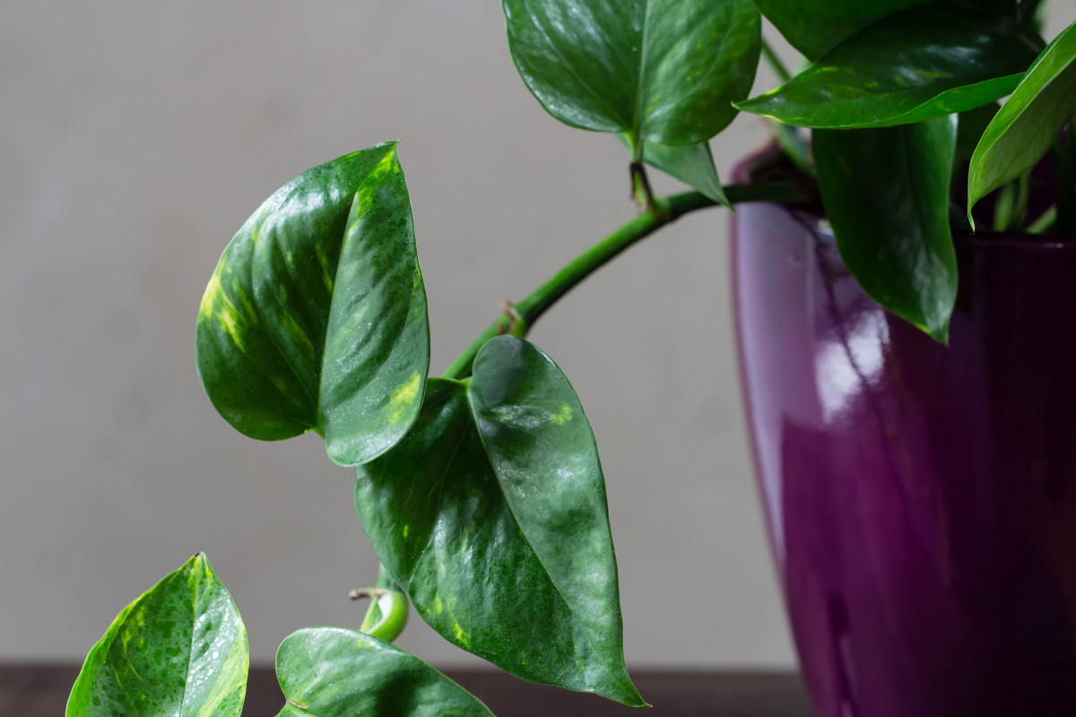 peachy house plants that are safe for cats. NASA cites pothos  or devil s ivy as one of the best houseplants for removing 10 Toxic Houseplants That Are Dangerous Children and Pets