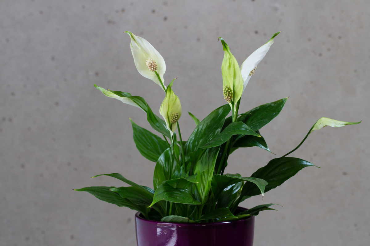 Although peace lilies are not true lilies, they are still toxic to humans and pets.