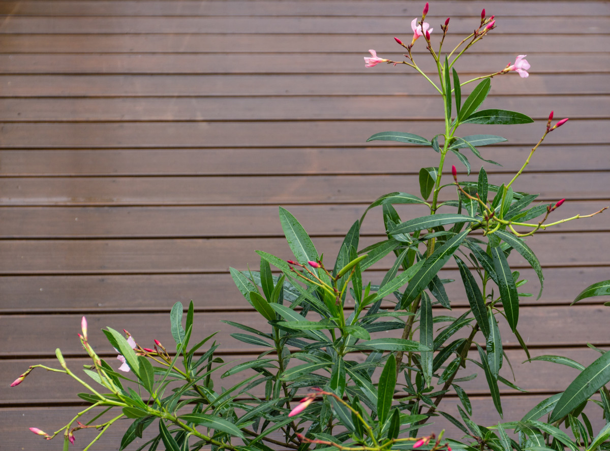 Oleander is one of the deadliest ornamentals.