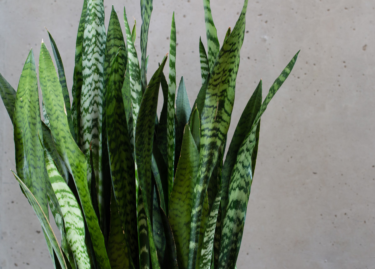 This decorative plant is known for its pointed leaves.