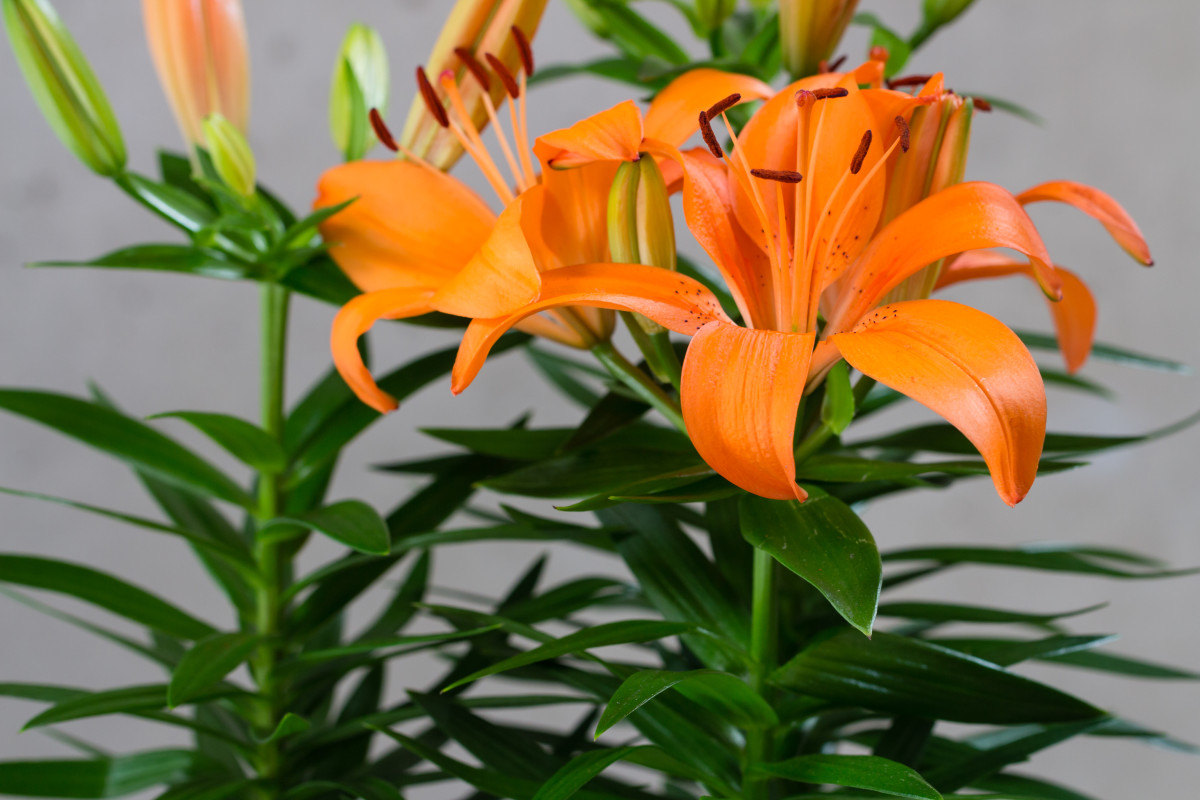 "Many ""lilies,"" like this Asian lily, are especially toxic to felines."