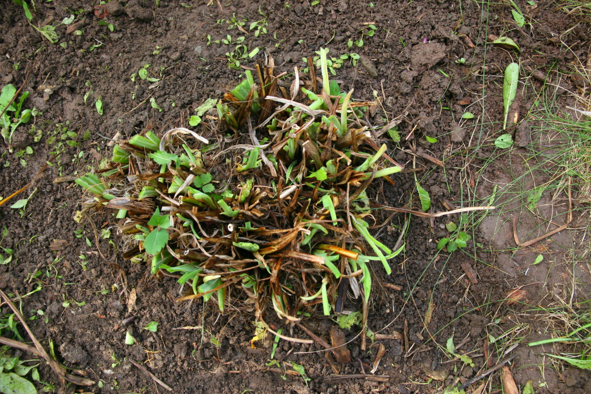 Cut back perennials like daylilies in the fall. This will lessen the amount of garden clean-up required in the spring.