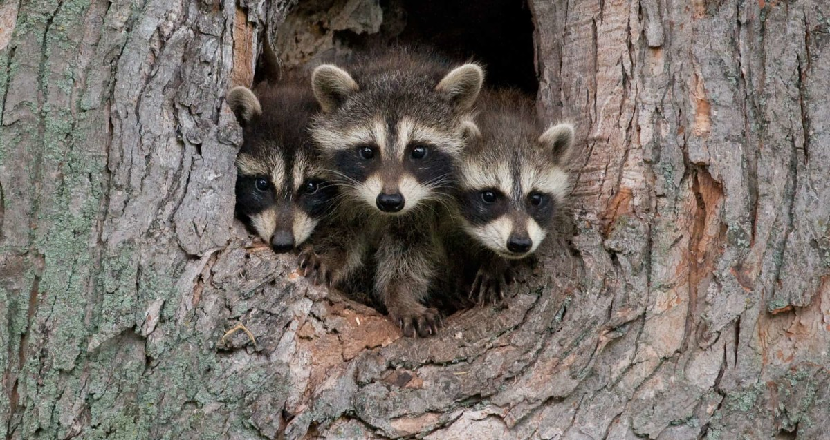 help-raccoons-are-destroying-my-lawn