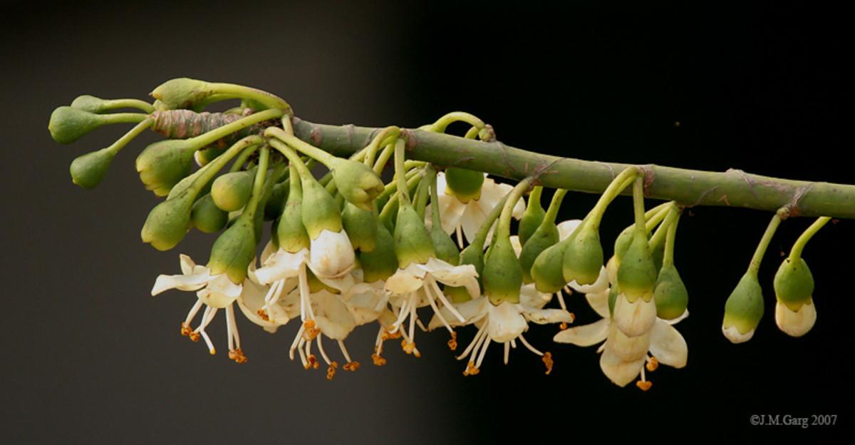 Kapok flowers.