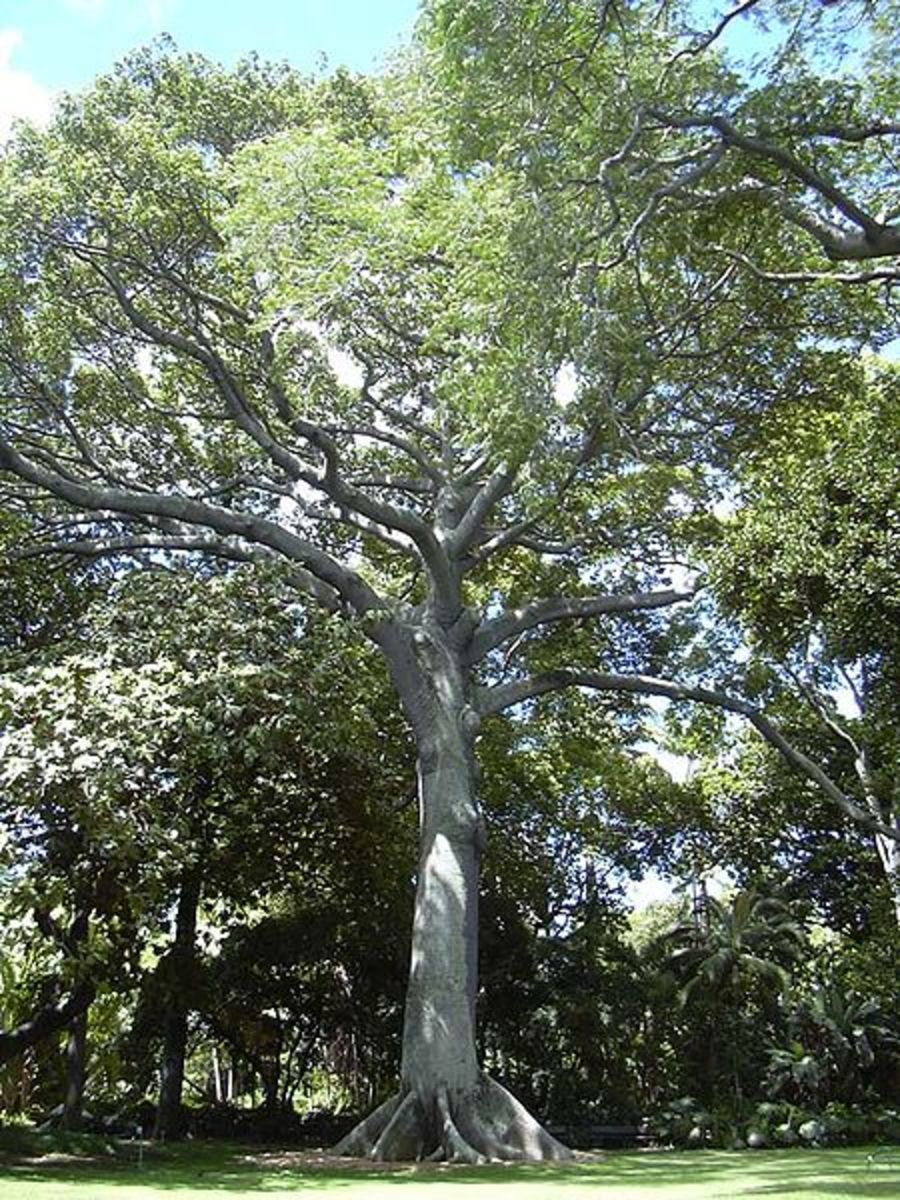 A kapok tree planted in Foster Botanical Garden in Honolulu, Hawaii.