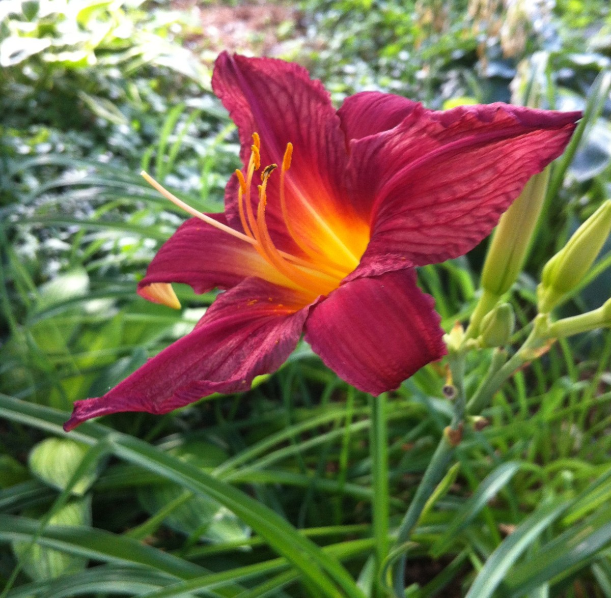 Burgundy and yellow daylily in my front yard garden.