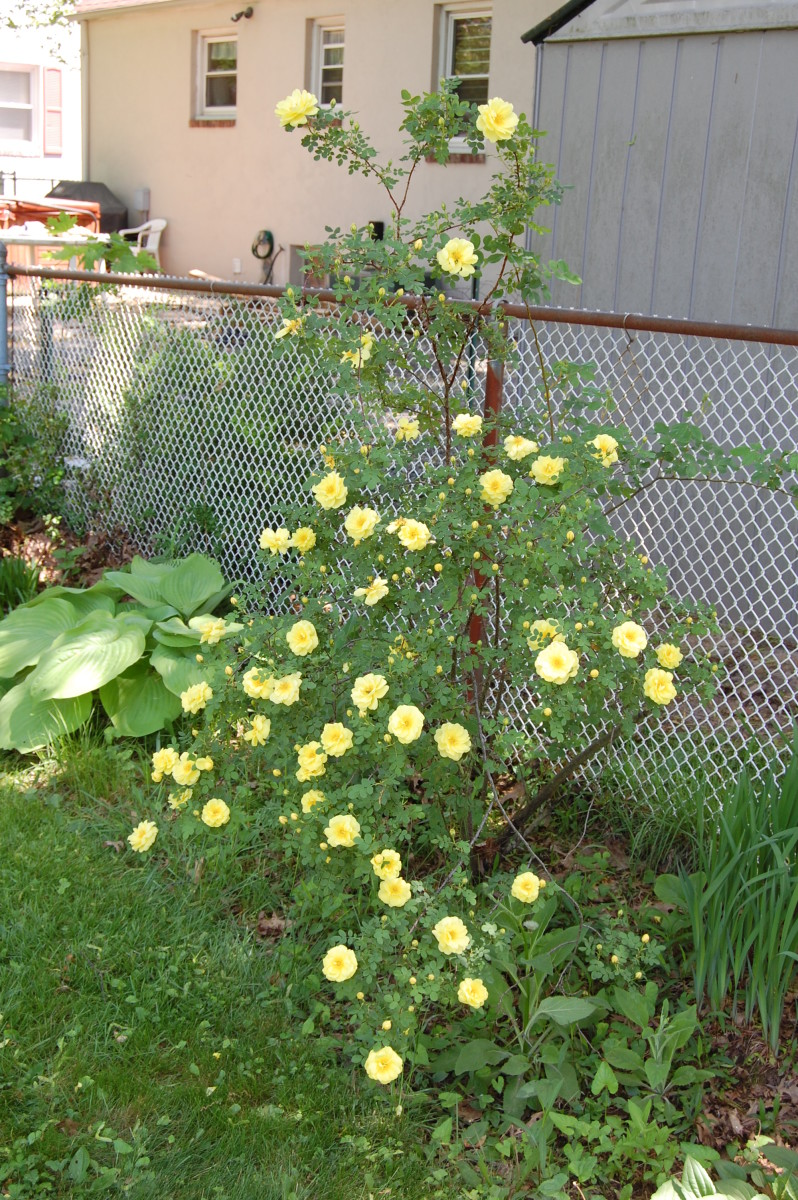 Harison's Yellow blooming in my yard in the shade.