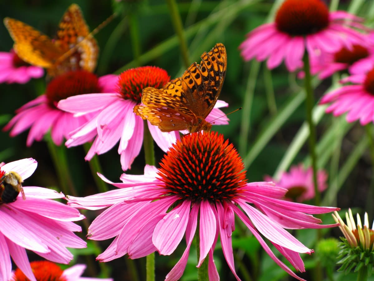 Purple cone flowers also attract butterflies.