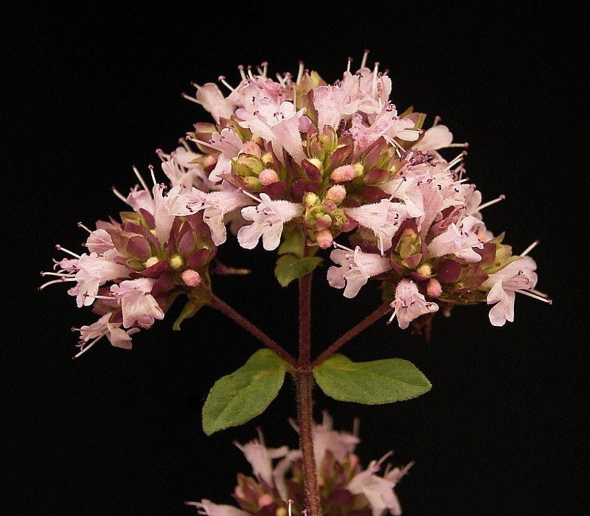 A closeup or flowering oregano.
