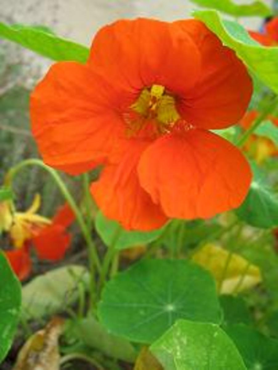 Nasturtium are wonderful choices to add more color to any garden.