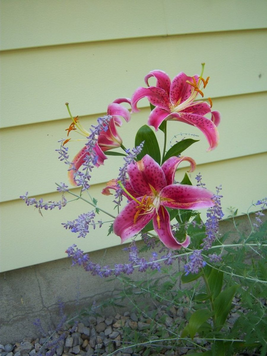 The purple flowers are Russian sage. Their delicate structure set the larger Oriental Lilies nicely. This was taken in front of our house a few years back.