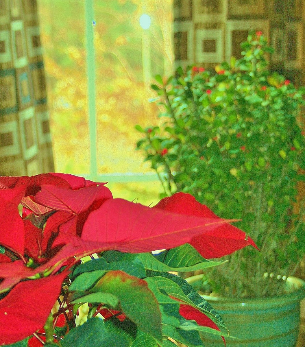 Placing poinsettias a few feet from a south-facing window will prevent them from fading in too-strong light.
