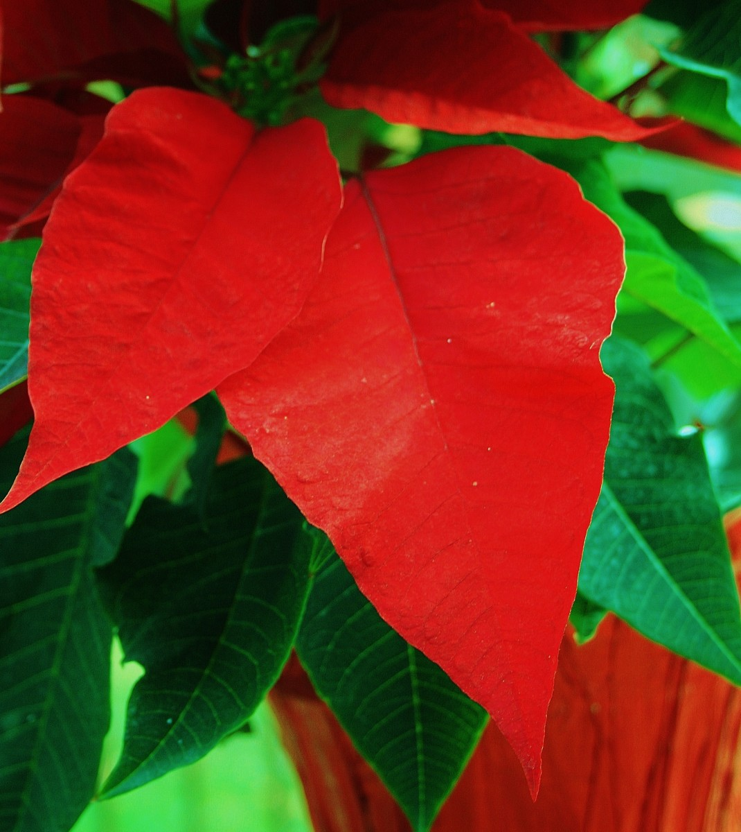 Bracts are leaf-life structures that grow around a plant's actual flowers. Poinsettia bracts surround its true flowers, which are small and nondescript.