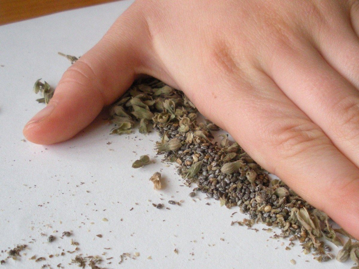 The fastest and easiest way to crush the dried flower heads and extract the chia seeds is to rub with a flat hand.