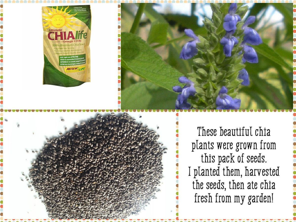 This is the kind of chia seeds I bought years ago and planted. Since then, I've been harvesting and saving seed to use from one year to the next. I'll show you how easy it is to grow your own chia plants.