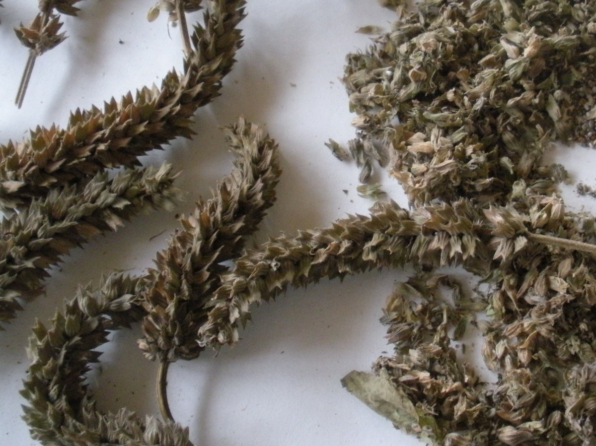 Dried chia flower heads, ready for seed separation. Picked at the right time and allowed to dry, the chia seeds are easy to separate and collect.