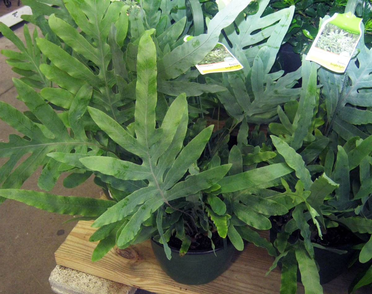 houseplants-easy-to-find-easy-care-ferns