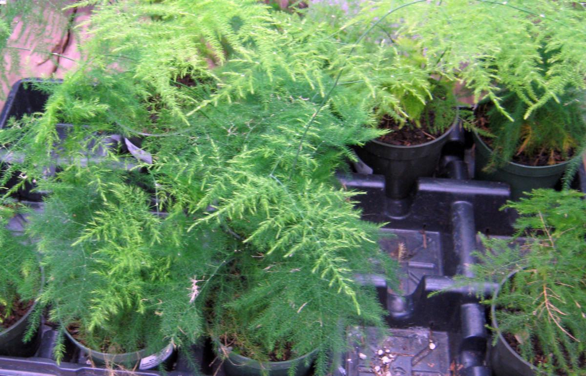 Houseplants Easy to Find EasyCare Ferns Dengarden