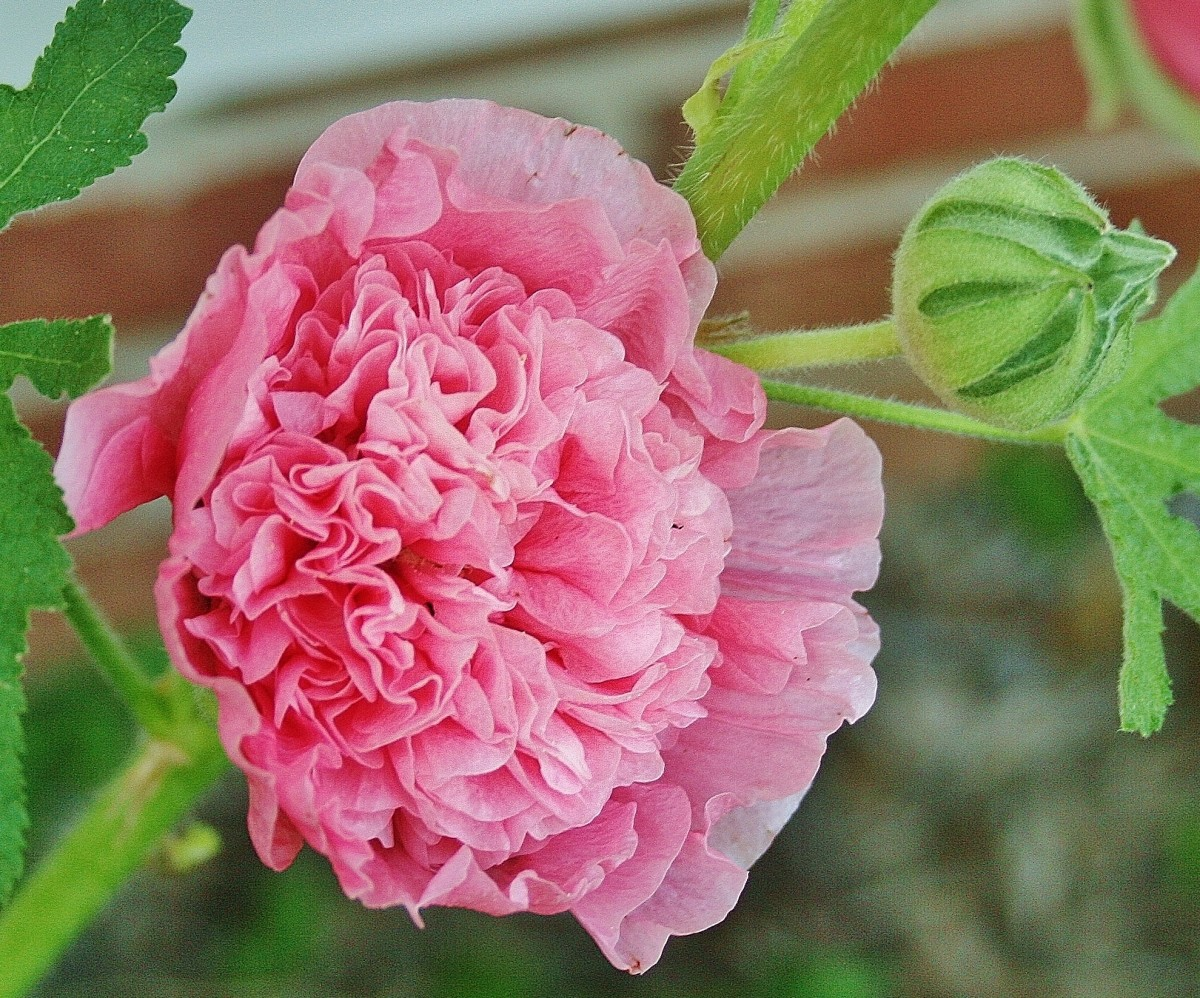 Here's the double pink hollyhock plant featured in this hub.