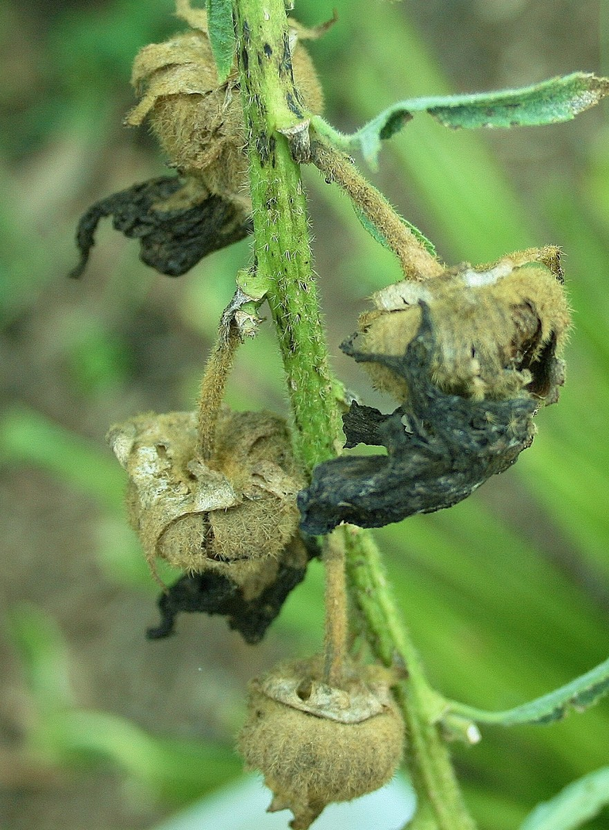 As hollyhock flowers die, they devolve into brown seedpods.