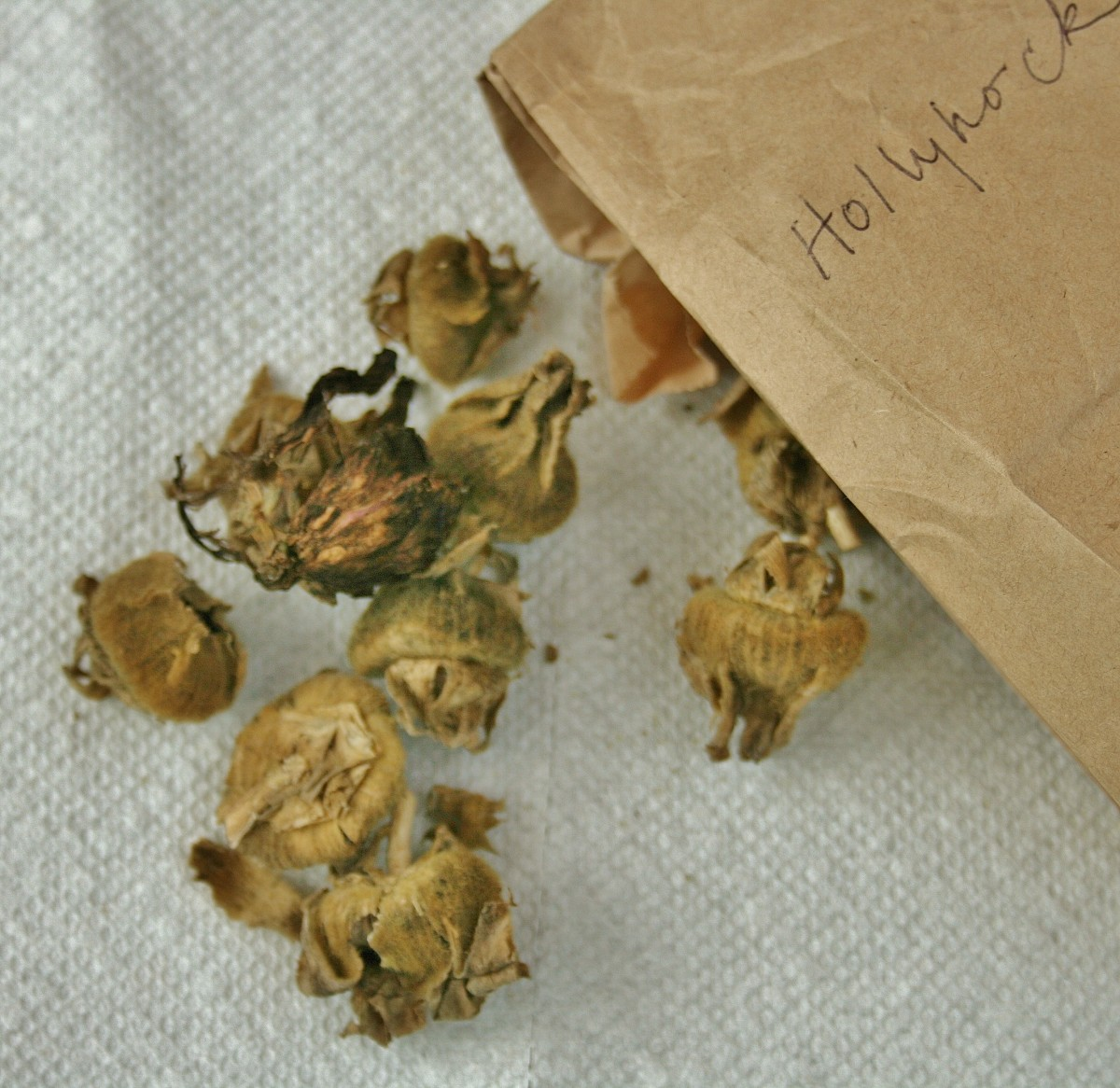 Pull open dried seed pods to release the hollyhock seeds.