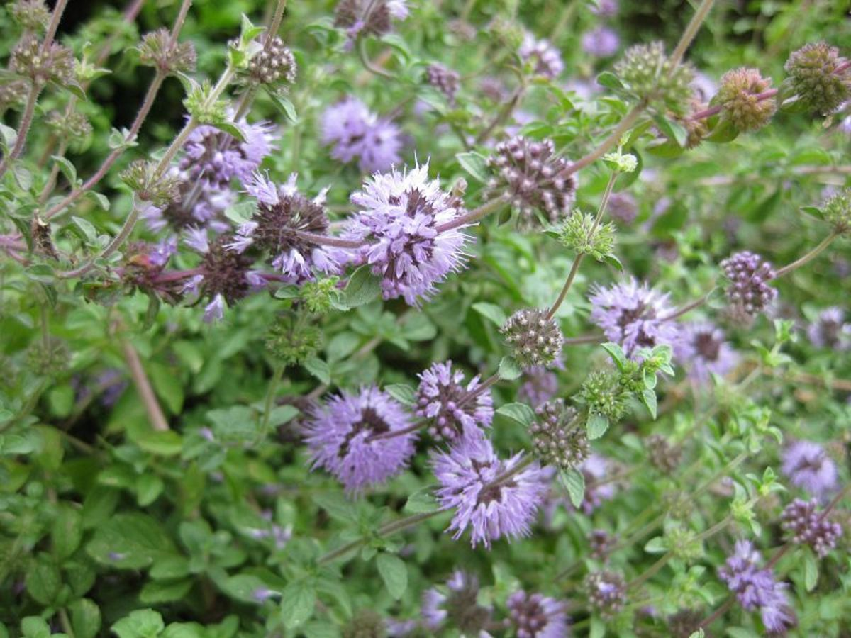 In the photo above is the herb known as Penny Royal and spiders including Brown Recluse and Black Widow Spiders can not stand it. It has a strong smell and will keep all spiders away. It is a member of the mint family.