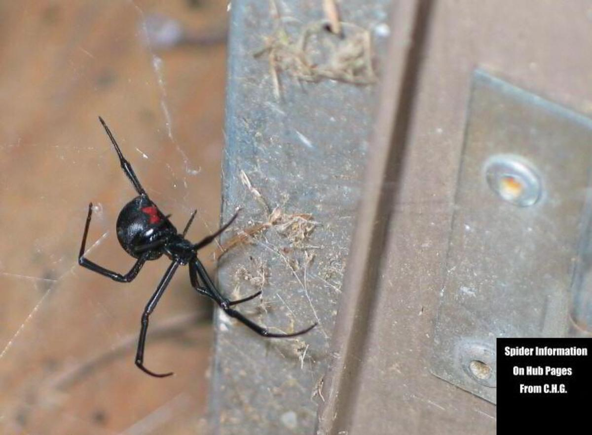 Black Widow Females like this large one can and will defend their egg sacs hanging in their webs. Spray the spider down with soapy water and crush it if possible to do safely. Knock the web and egg sac down and wash away any signs of the web.