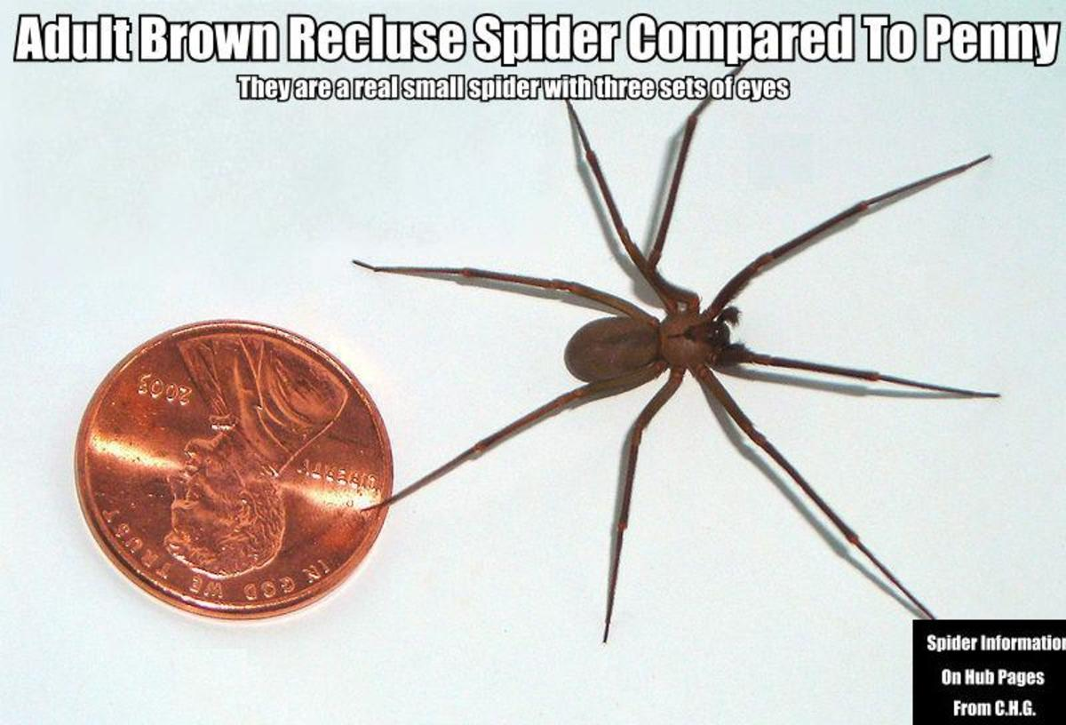 In this photo you see an adult Brown Recluse Spider compared to a U.S. Penny. Yes they are that small.
