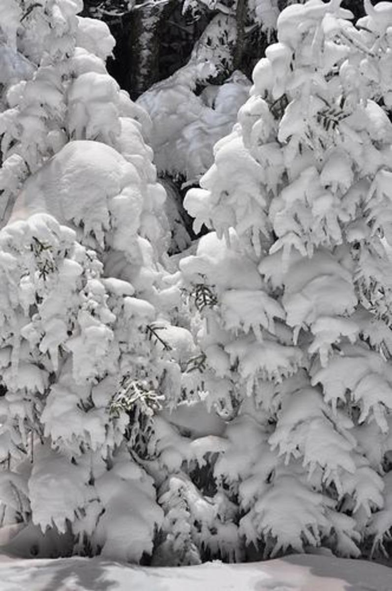 When snow falls, lower branches carry the weight of upper branches.