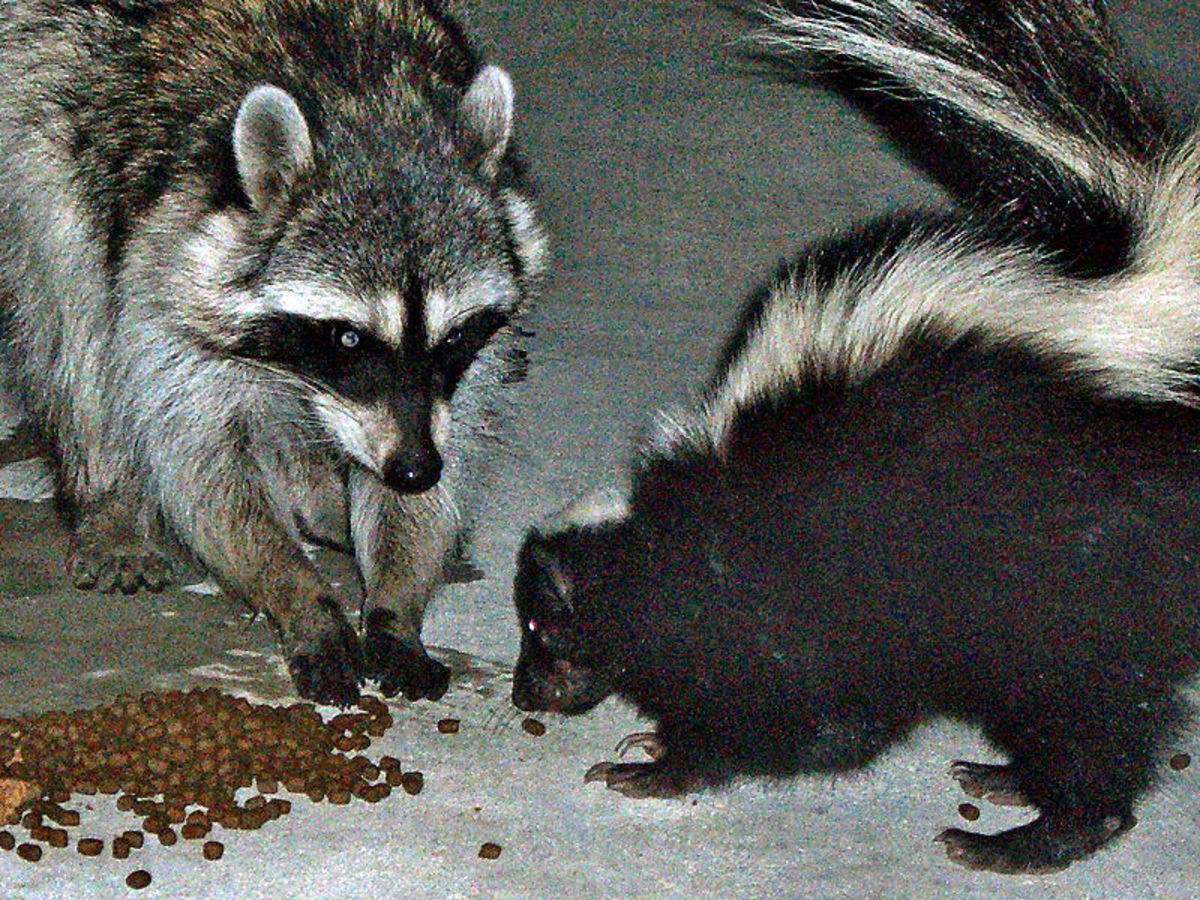 Racoon and Skunk.
