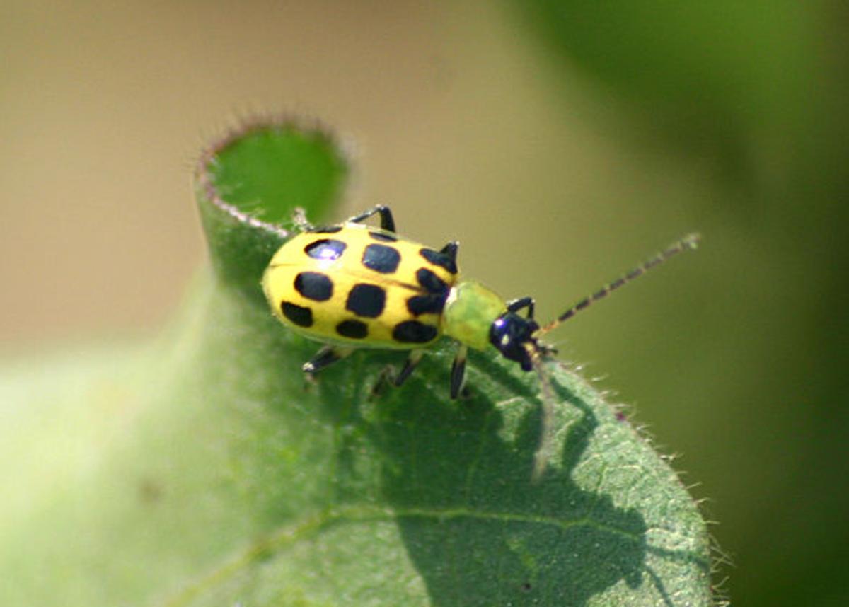 The spotted cucumber beetle, Diabrotica undecimpunctata.