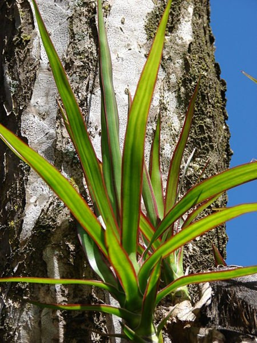 The red-edged dracaena
