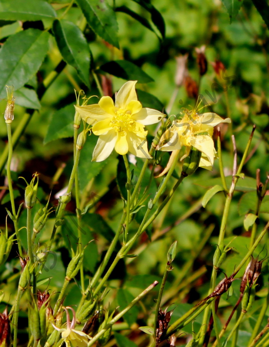 Columbines prefer moist but well-drained soil. Once they've established themselves, however, they can often survive periods of drought.