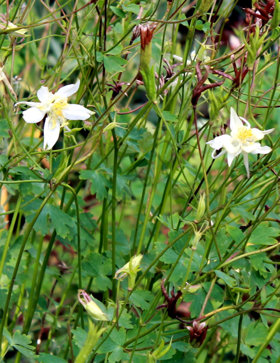 As wonderful as they are to look at, the seeds of the columbine can be poisonous. So be careful where you plant them, especially if you have young children or pets.