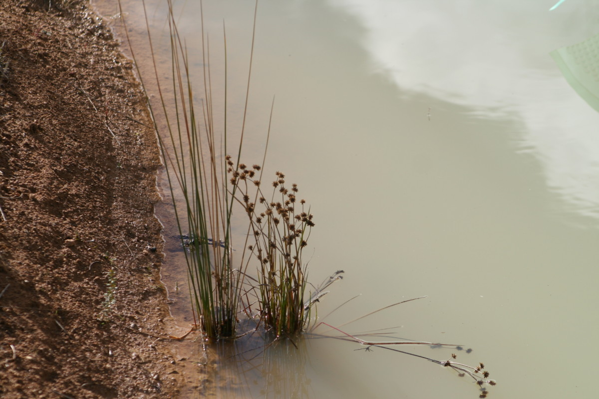My beautiful clean water became milky when the barley straw mulch blew from the plants around the edge of the dam into the water. I can no longer see the bottom of the dam.