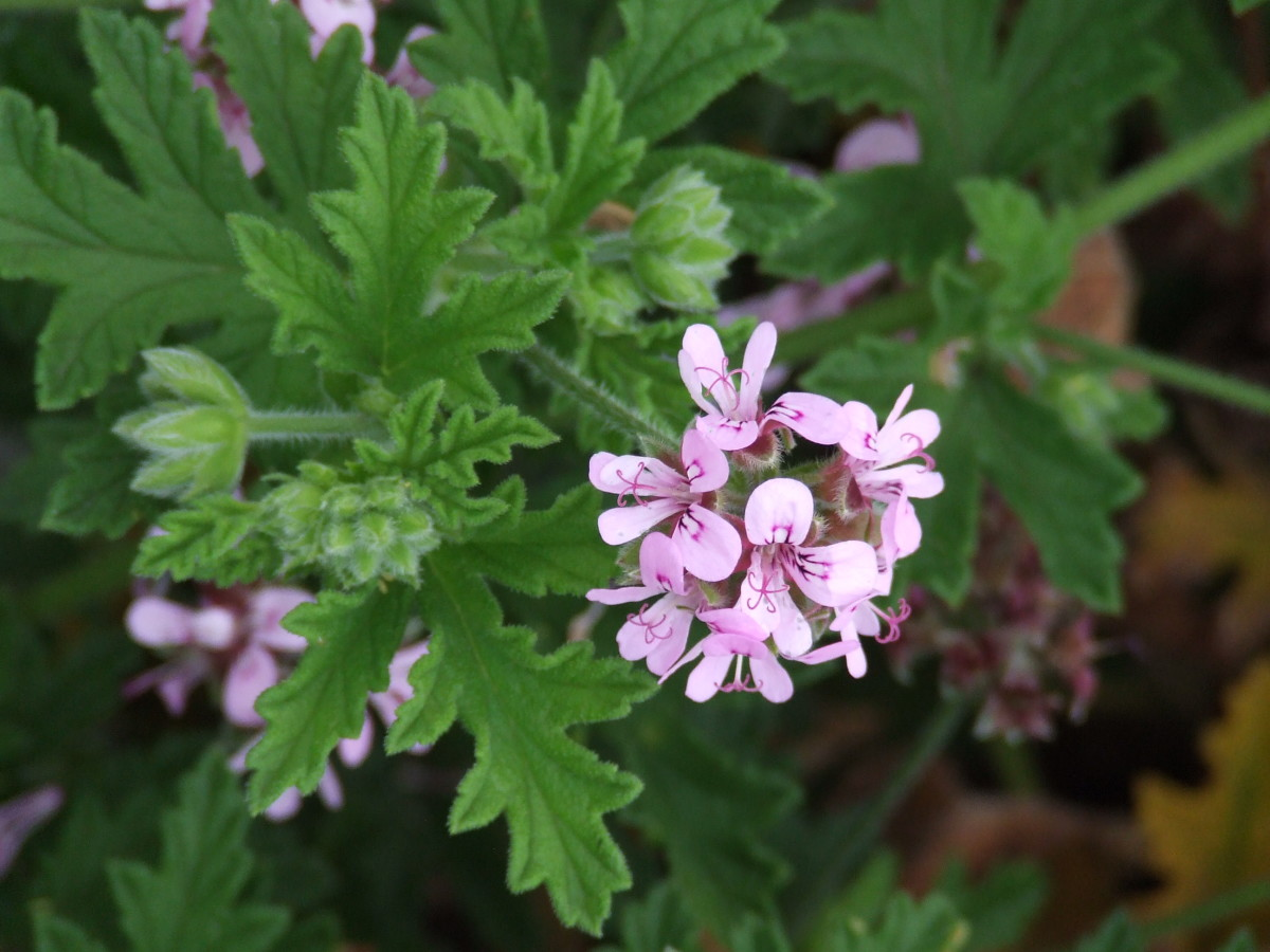 Rose-Scented Geraniums are gorgeous in the garden and vase. Hardy and long-lasting in the vase and garden, and they smell good too!