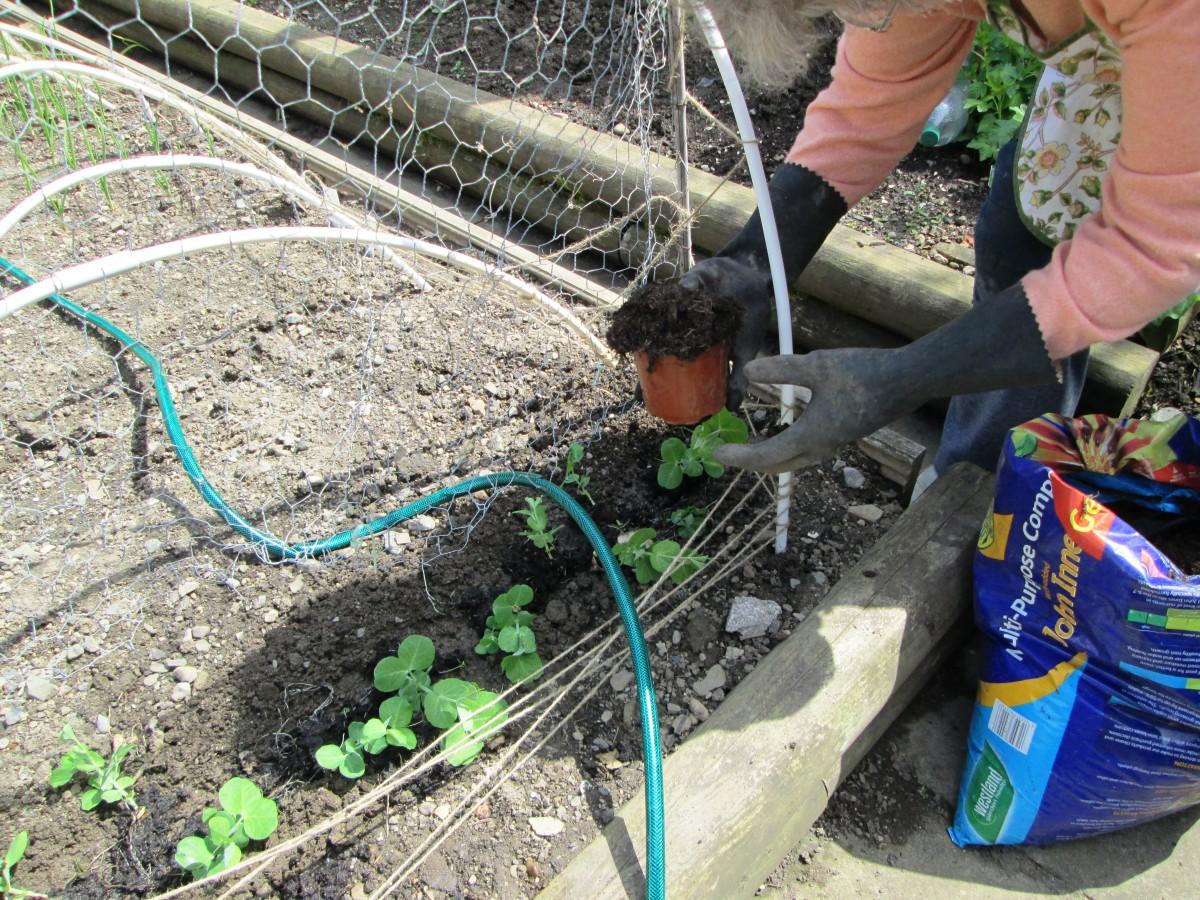 How to transplant garden peas seedlings