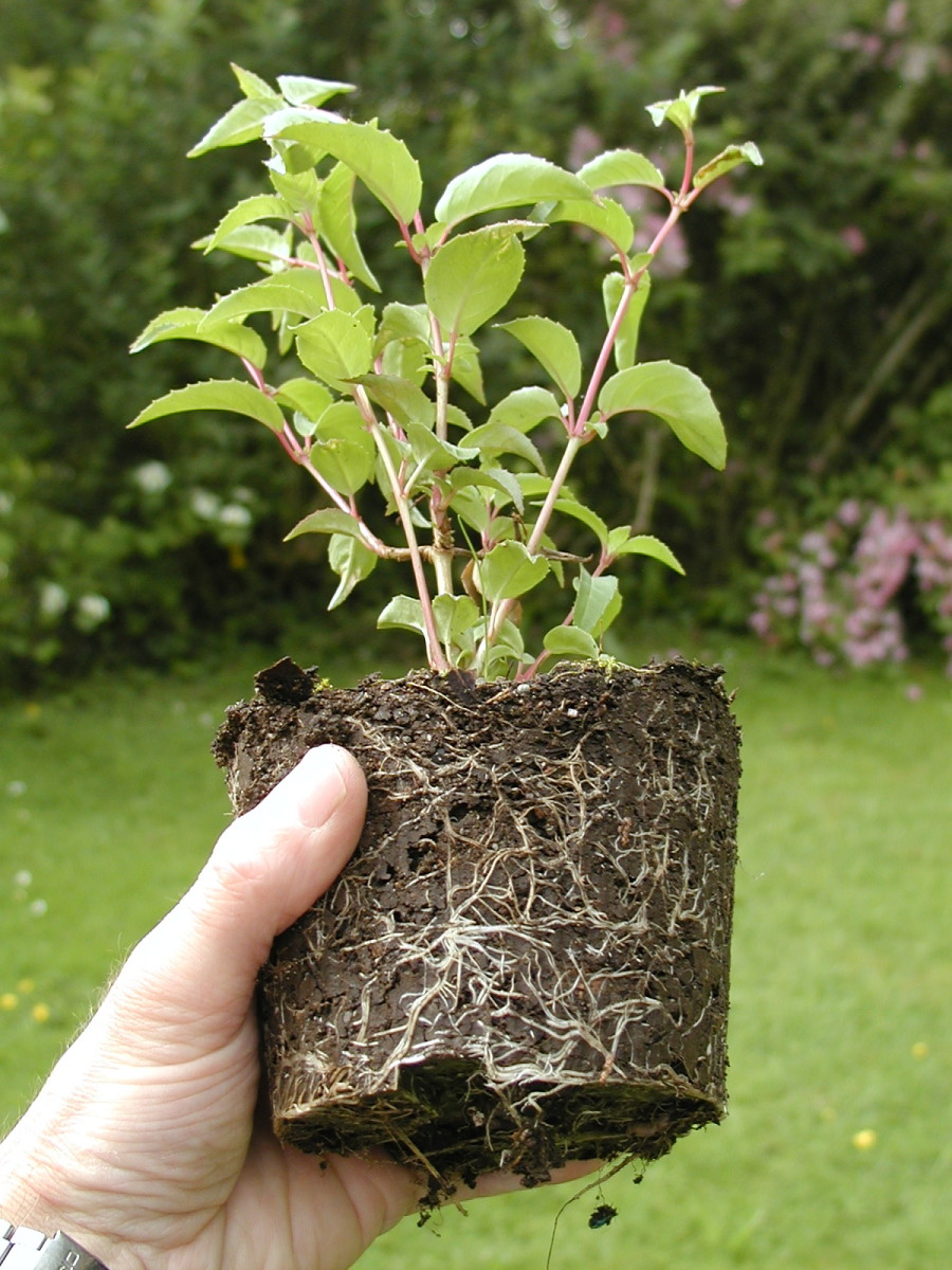 This cutting has an extensive root system and is ready for planting