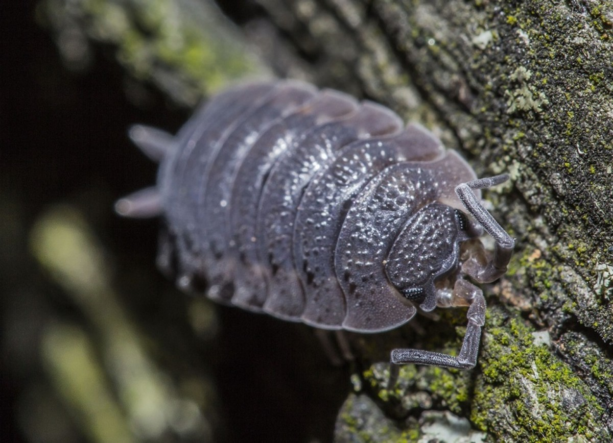 Close up of a woodlouse at night.