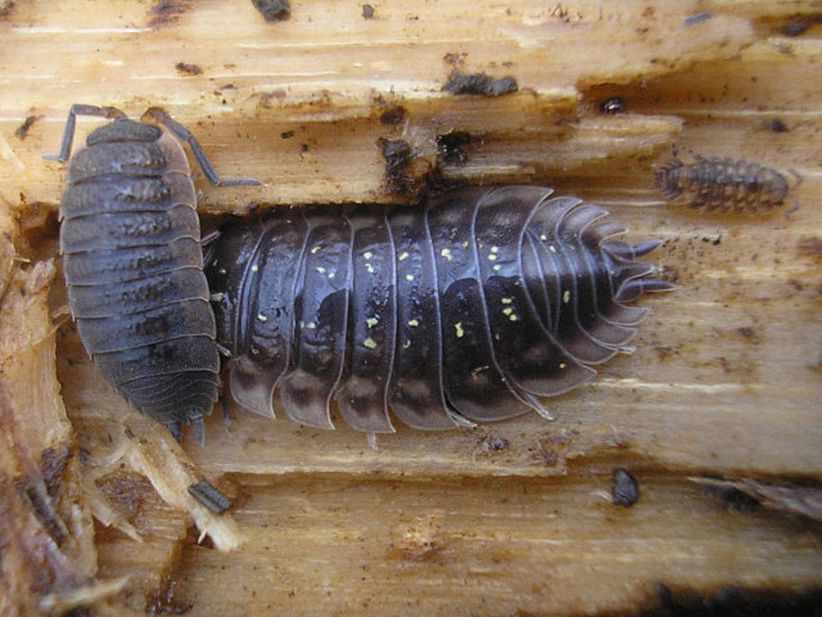 Woodlice eating rotten wood.