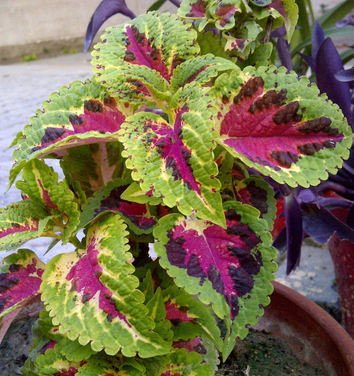 Coleus in a pot