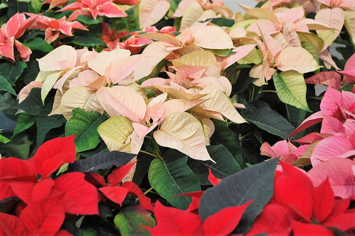 Though most poinsettias are red, other colours are available.