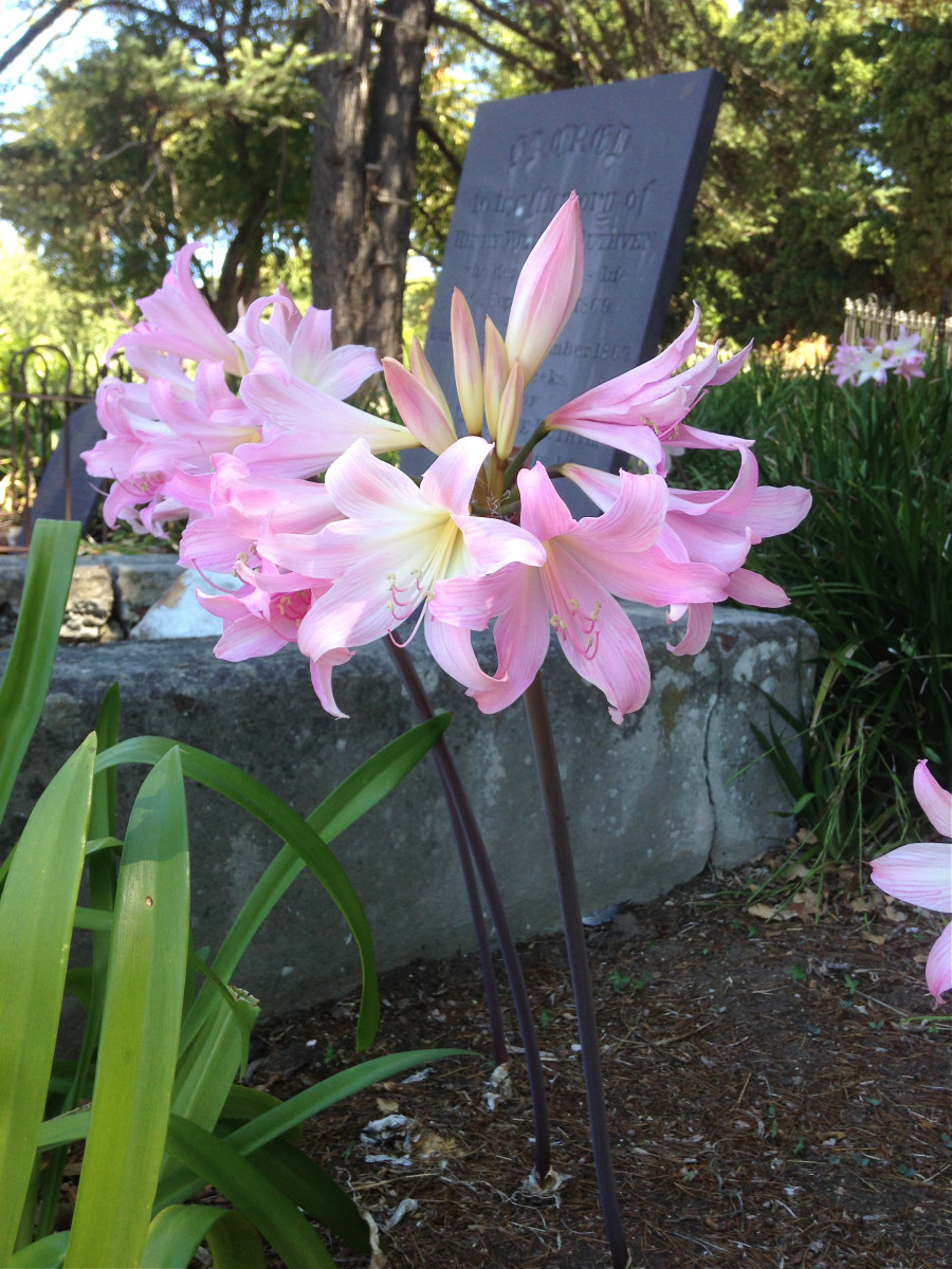 Amaryllis belladonna or belladonna lily