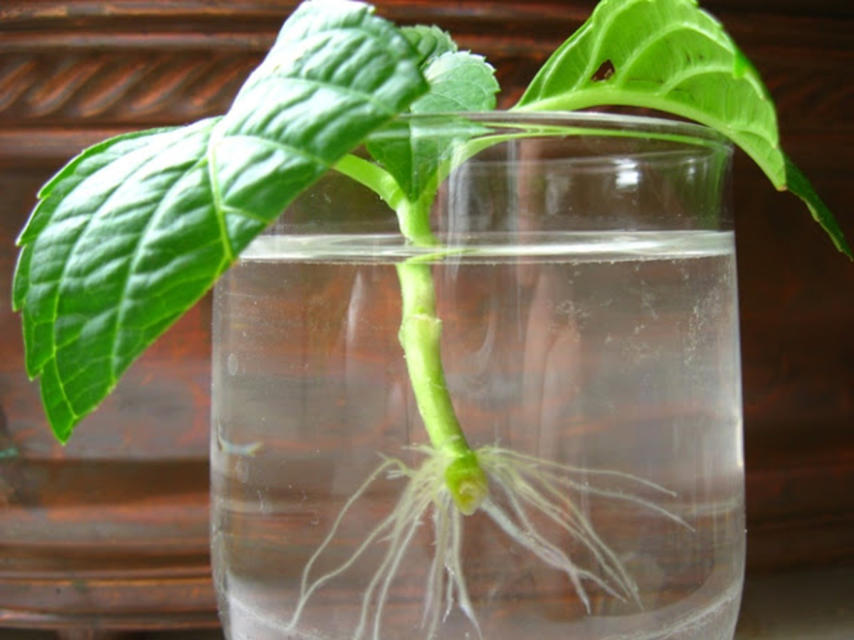 Cutting placed into water is establishing roots.