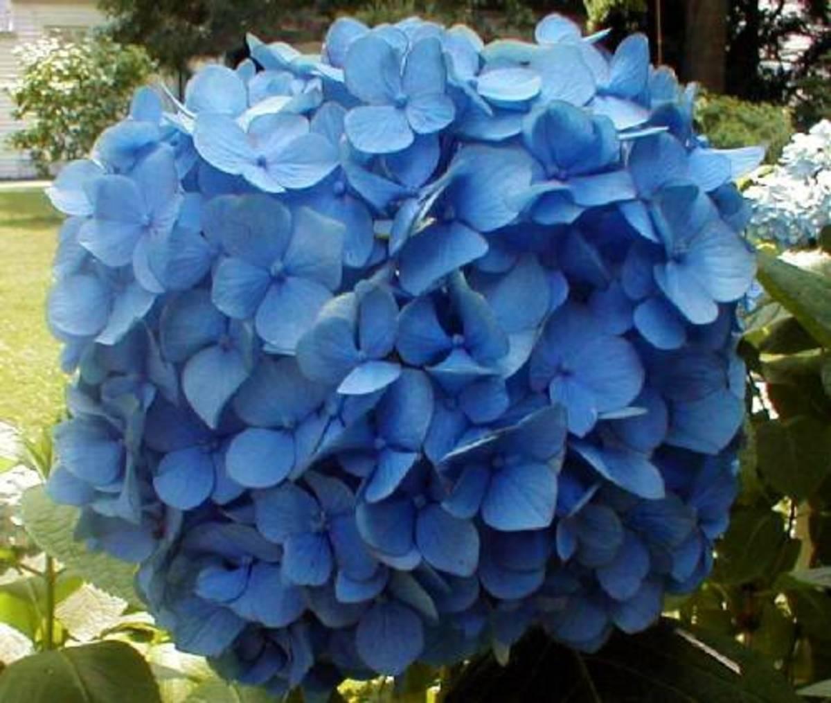 Blue hydrangea flower cluster.