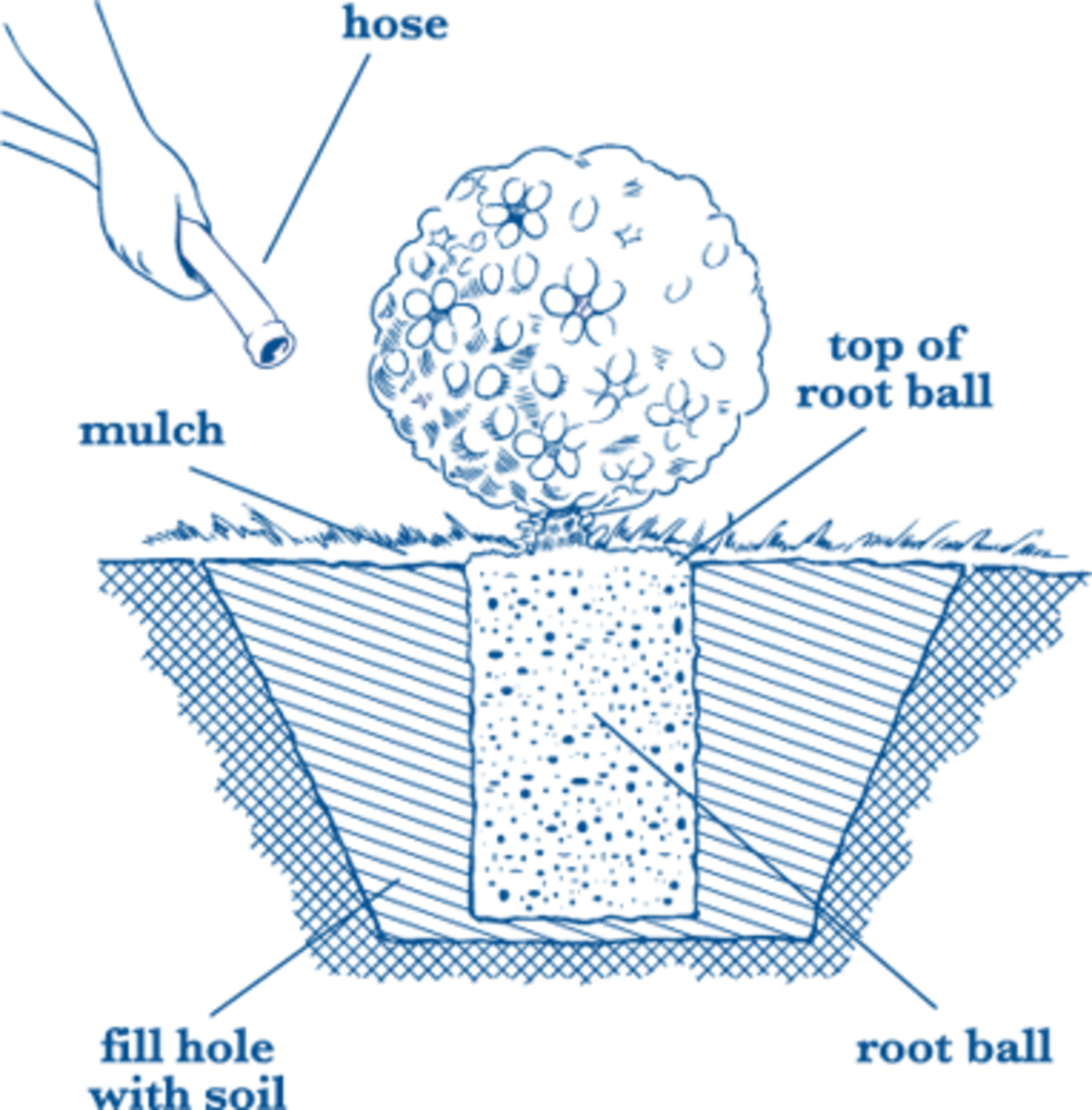 This diagram shows how to properly plant your hydrangeas.