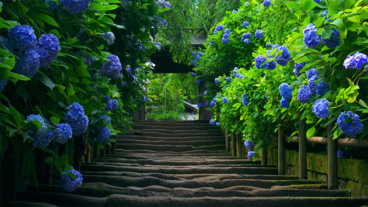 A garden path lined with gorgeous blue hydrangeas.