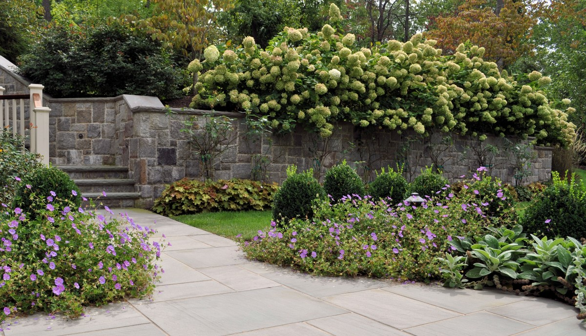 Paniculata hydrangea, stone wall and stone steps for reference.